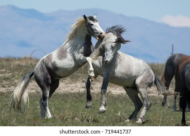 Wild mustang horses sparing in the desertWild horse mother and foal walking together