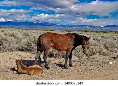 Wild mustang mare and colt along the edge of a dirt road. Big sagebrush and the Sangre de Cristo range of the Rocky Mountains in the background.