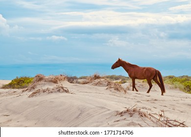 Wild mustang on an evening stroll in Corolla, NC