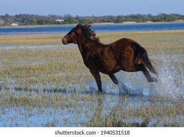 Wild Mustang Running Through Water on an Island in North Carolina