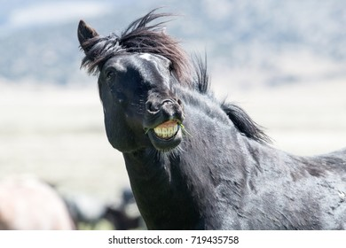 Wild mustang showing teeth with smile