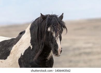 Wild Mustang Stallion head shot,