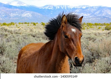 Wild mustang standing in sagebrush on a windy day. Her mane is blowing in the breeze. The Sangre de Cristo range of the Rocky Mountains are in the background.