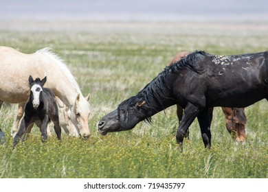 Wild mustang threatening young foal