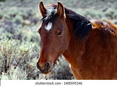 Wild mustang with windswept hair and a sweet expression on her face. The background is most entirely big sagebrush.