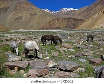 Wild Mustangs Ladakh India