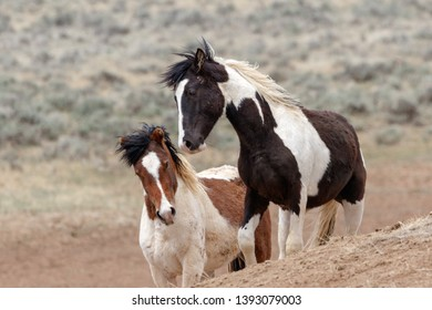 The wild mustangs of McCullough Peaks
