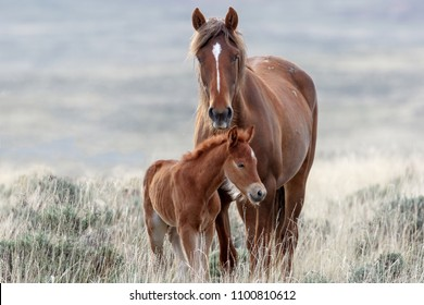 Wild Mustangs of the West