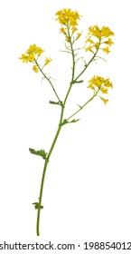 wild mustard flowers isolated on white background
