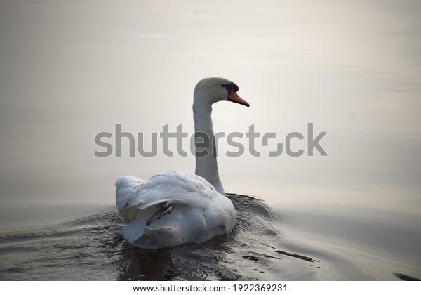 wild-mute-swan-cygnus-olor-600w-19223692