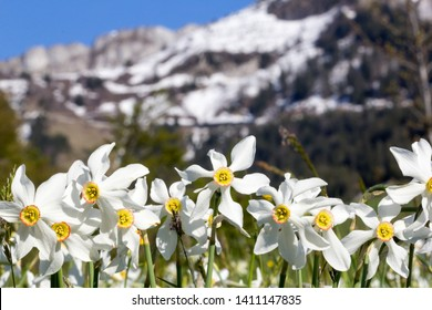 Wild narcissus flower (narcissus poeticus) with snow-capped Swiss Alps mountain at the background, Montreux riviera regions over Geneva Lake