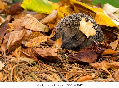 Wild, Native European Hedgehog in Autumn or Fall,  with golden leaves and single leaf on right side of the head. Latin Name: Erinaceus Europaeus.  Hedgehog is looking to the left. Landscape