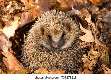 Wild, Native, European Hedgehog curled into a ball, facing forward and preparing for hibernation in golden brown Autumn Leaves, Latin Name: Erinaceus Europaeus.  Landscape