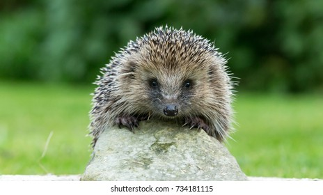Wild, Native, European Hedgehog looking over the top of a stone with very pretty face and two front paws on the light coloured stone. Landscape.  Latin Name: Erinaceus Europaeus.