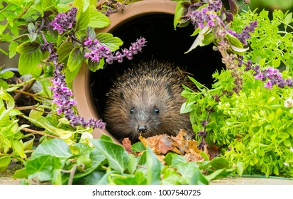 Wild, native European Hedgehog in Springtime, sat inside a clay pipe surrounded by colourful herbs and purple flowering mint.  Scientific name: Erinaceus europaeus. Landscape