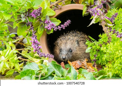 Wild, native European Hedgehog in Springtime, sat inside a clay pipe surrounded by colourful herbs and flowering mint.  Scientific name: Erinaceus europaeus.  Landscape.