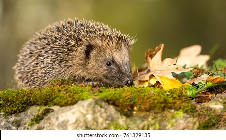 Wild, native hedgehog facing right on green moss with Autumn leaves.  Hedgehog has head down, foraging. Erinaceus europaeus. Blurred background.  Landscape