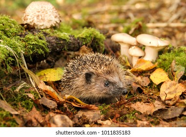 Wild, native hedgehog in natural habitat of  green moss, toadstools and autumn leaves.  Hedgehog is facing right.  Landscape.  Scientific name: Erinaceus europaeus.