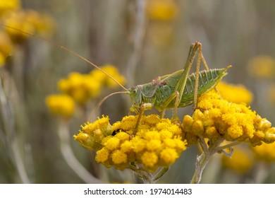 Wild nature; green grasshopper, scientific name; Tettigonia viridissima