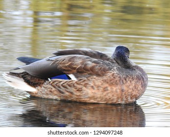 The wild nature of Poland. Autumn in nature. Wild duck on water.