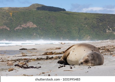 Wild New Zealand, or Hookers, Sea Lion (Phocarctos hookeri) sleeping on Allans Beach, Otago Peninsula, New Zealand This is the world's rarest sea lion species.