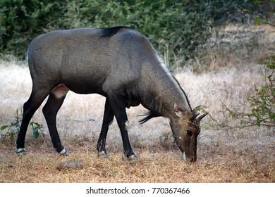 Wild Nilgai or Boselaphus tragocamelus