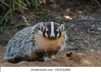 Wild North American badger, Taxidea taxus taking a pause in digging in the Sonoran Desert with cholla cactus and fresh dirt in the background. Cute and furry animal. Pima County, Tucson, Arizona, USA.