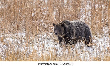 A wild North American brown bear (Ursus arctos), commonly known as a grizzly bear. Taken at Grand Teton National Park in Wyoming.