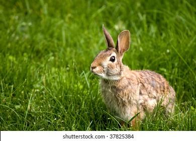 Wild north American rabbit in the green grass