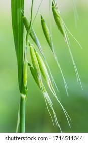 wild oat closeup, a weed that attacks crops such as wheat, avena fatua