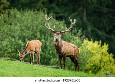 Wild old male red deer is looking to camera by the female red deer on green grass with blurred green bushes  in the background. Nice sunny weather.