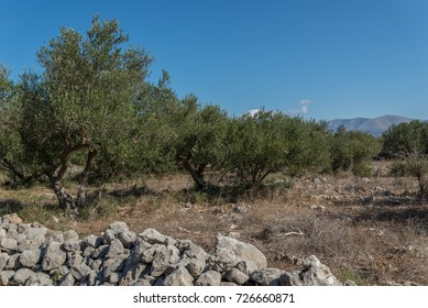 Wild olive trees in a field in Southern Greece.