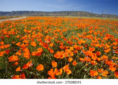 wild orange california poppy blooming from antelope valley in southern california