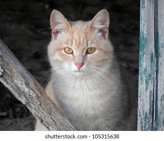 Wild orange tiger striped tabby cat living under buildings on beaches of outer banks