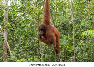 Wild orangutan hanging on tree branch in Tanjung Puting national park, Indonesia.
