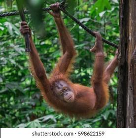 Wild Orangutan hanging on the trees in the jungle of Borneo.