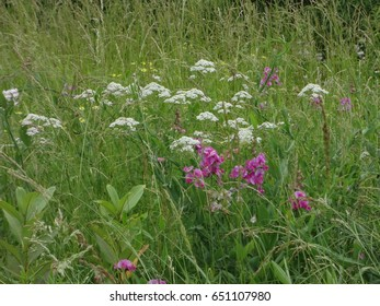 Wild orchids and baby's breath in a field of East Tennessee, USA.