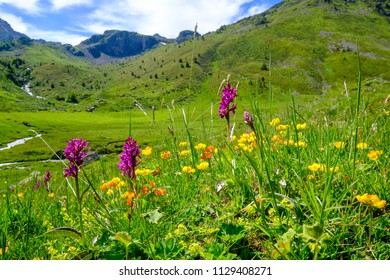 Wild orchids with mountains in the background in the french Pyrenees, near Aston in Ariege