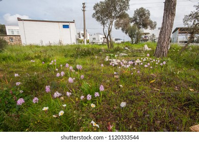 Wild orchids, Orchis italica individuals in a cemetery of Turkey