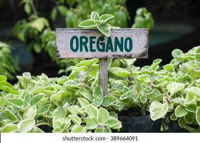 Wild oregano growing in a garden. Oregano sign.