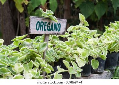 Wild oregano growing in a garden. Oregano sign.