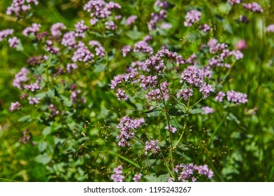Wild origanum blooming in forest