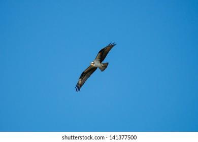 Wild Osprey in Flight, Alberta Canada
