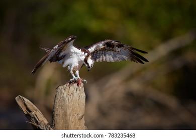 Scottish Fish Images, Stock Photos & Vectors | Shutterstock