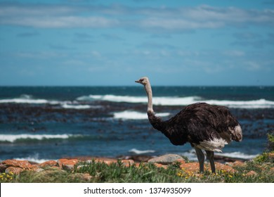 Wild ostrich standing in a field near Cape of Good Hope, with the ocean in the background, South Africa