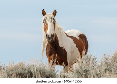 Wild Painted Mustang Mare posing