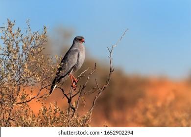 Wild Pale chanting goshawk, Melierax canorus, bird of prey from Kalahari desert hunting rodents. Colorful raptor, blue-grey bird with orange legs and beak, Kgalagadi, Africa