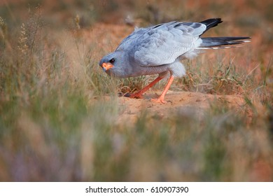 Wild Pale chanting goshawk, Melierax canorus, bird of prey from Kalahari desert hunting rodents on the ground. Colorful raptor, blue-grey bird with orange legs and beak,ground level, Kgalagadi, Africa