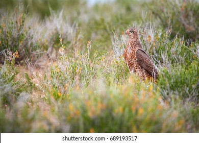 Wild Pale chanting goshawk, Melierax canorus, bird of prey from Kalahari desert hunting rodents on the ground. Colorful raptor, blue-grey bird with orange legs and beak, ground level, Kgalagadi,Africa