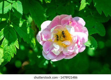 A wild pale pink rose with two honeybees in the center of the flower eating pollen. The colorful flower is centered with bright green leaves surrounding the flower.